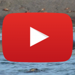 Sea Lion Fight (1m01s)